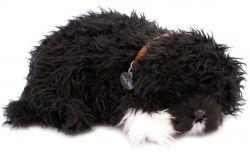 Štěňátko Portugalský vodní pes
